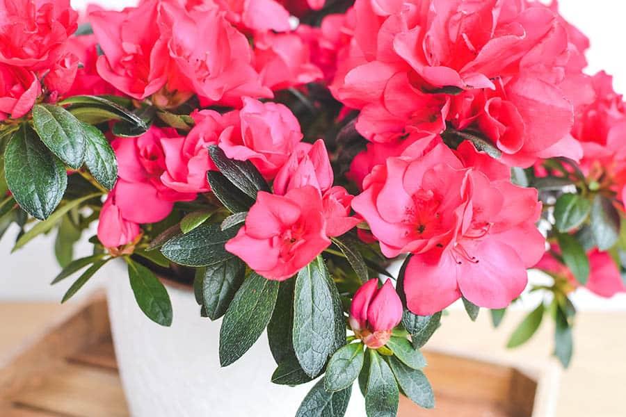 Červená azalka v kvetináči