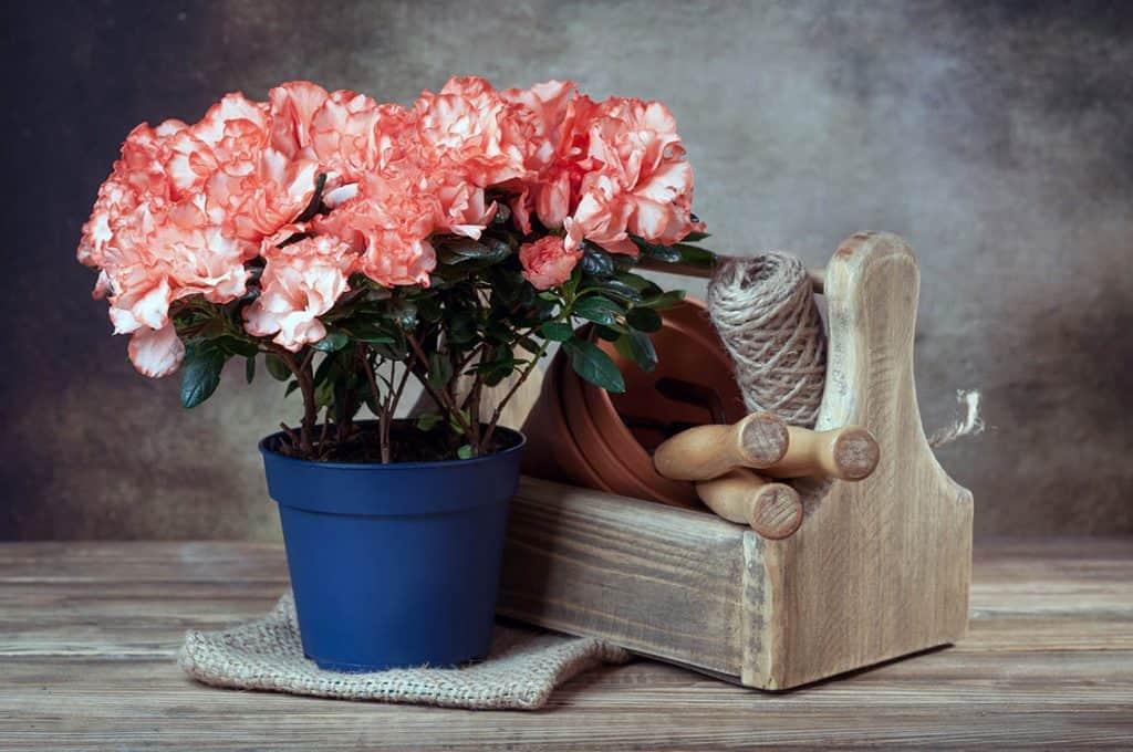 Azalka v kvetináči