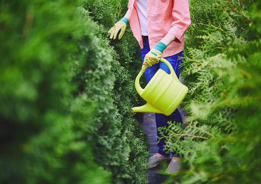 Polievanie a hnojenie tují