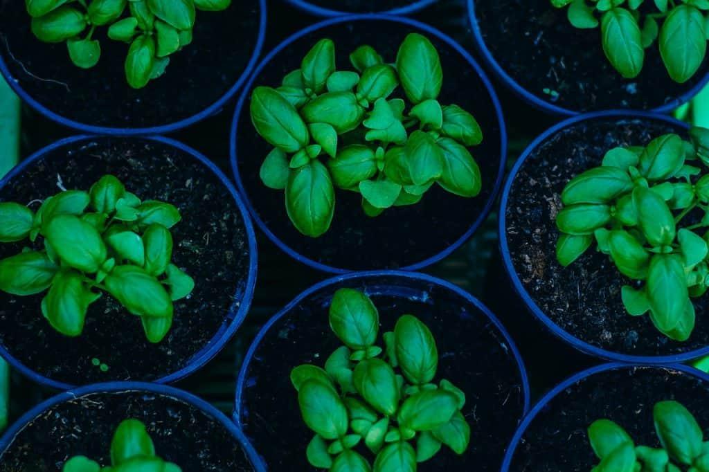 Pestovanie bazalky - liečivé bylinky