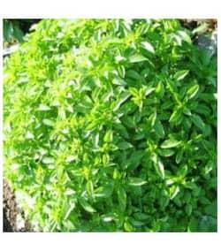 Bazalka pravá - liečivé bylinky