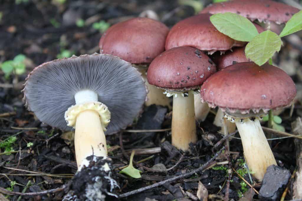 Stropharia Rugosoannulata - pestovanie húb