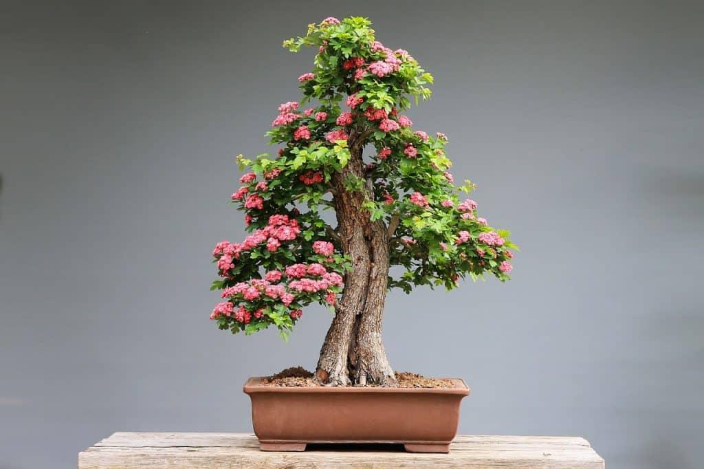 Bonsai - okrasné rastliny