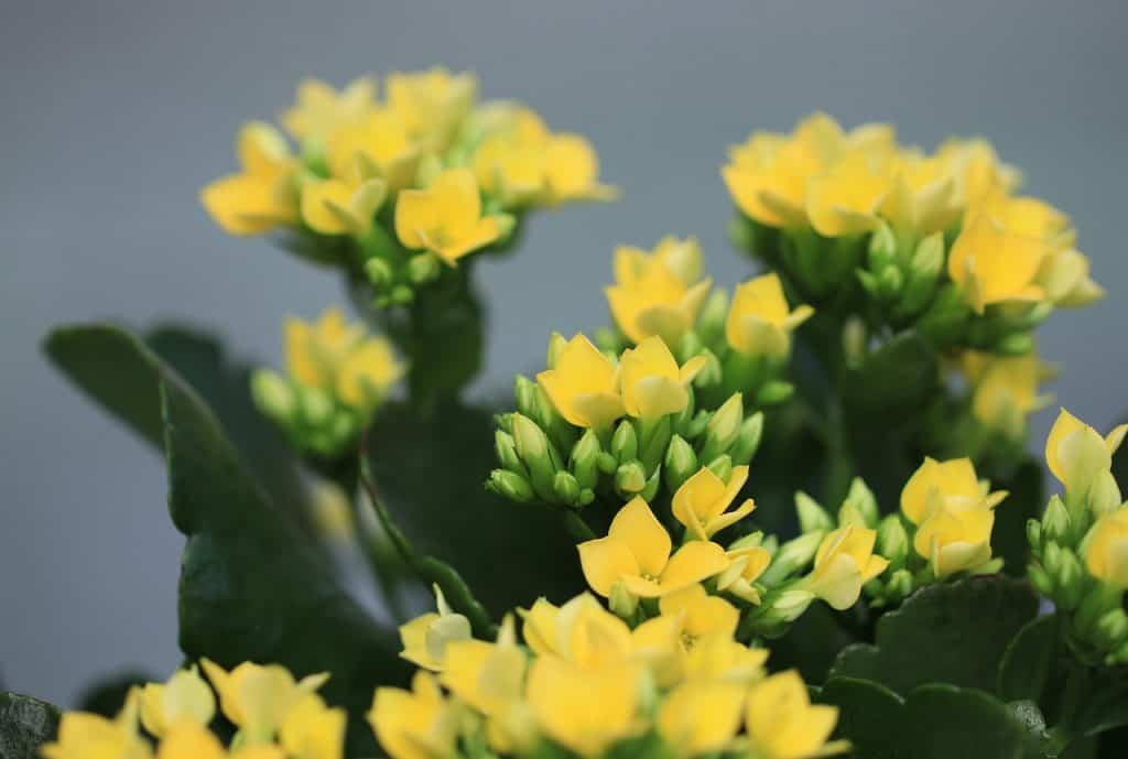 Kvitnúci tučnolist