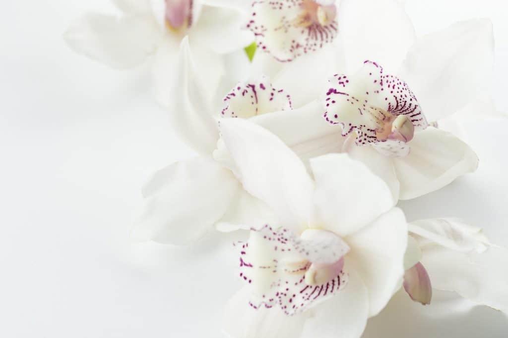 Orchidea - okrasné rastliny