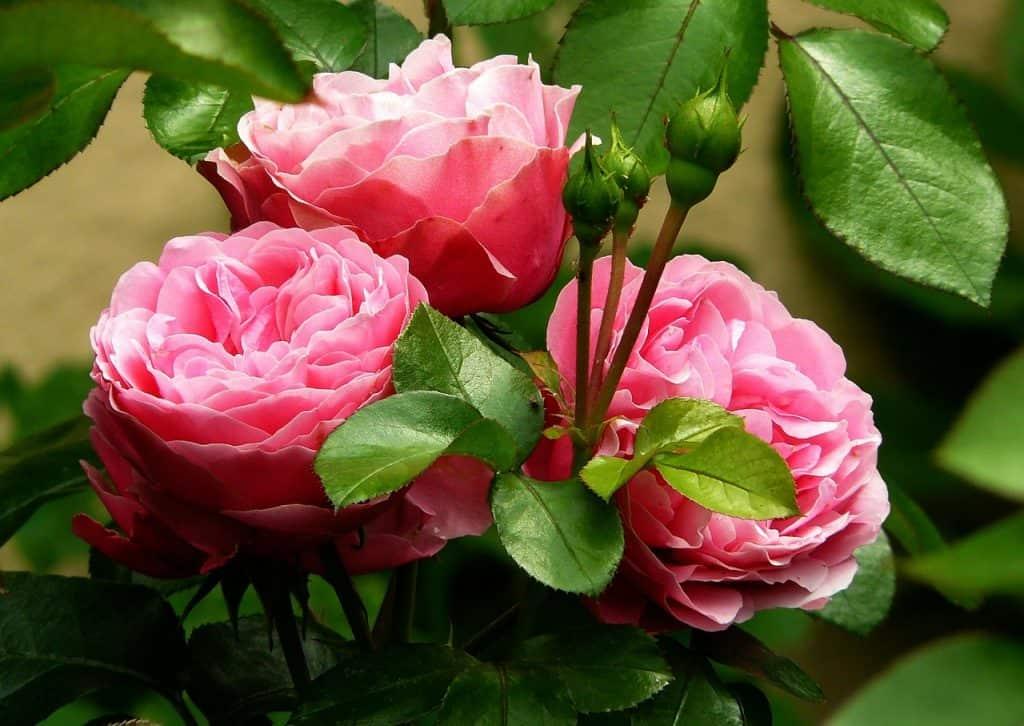 Ruže - júl v záhrade