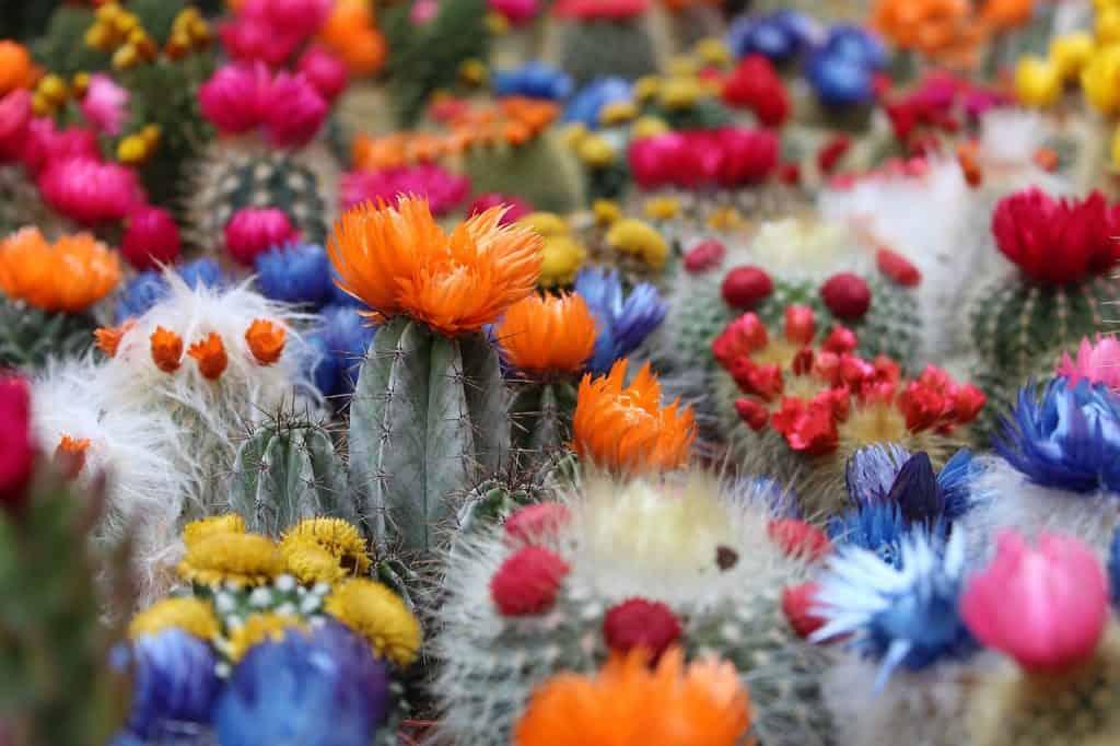 Kvitnúce kaktusy farebné
