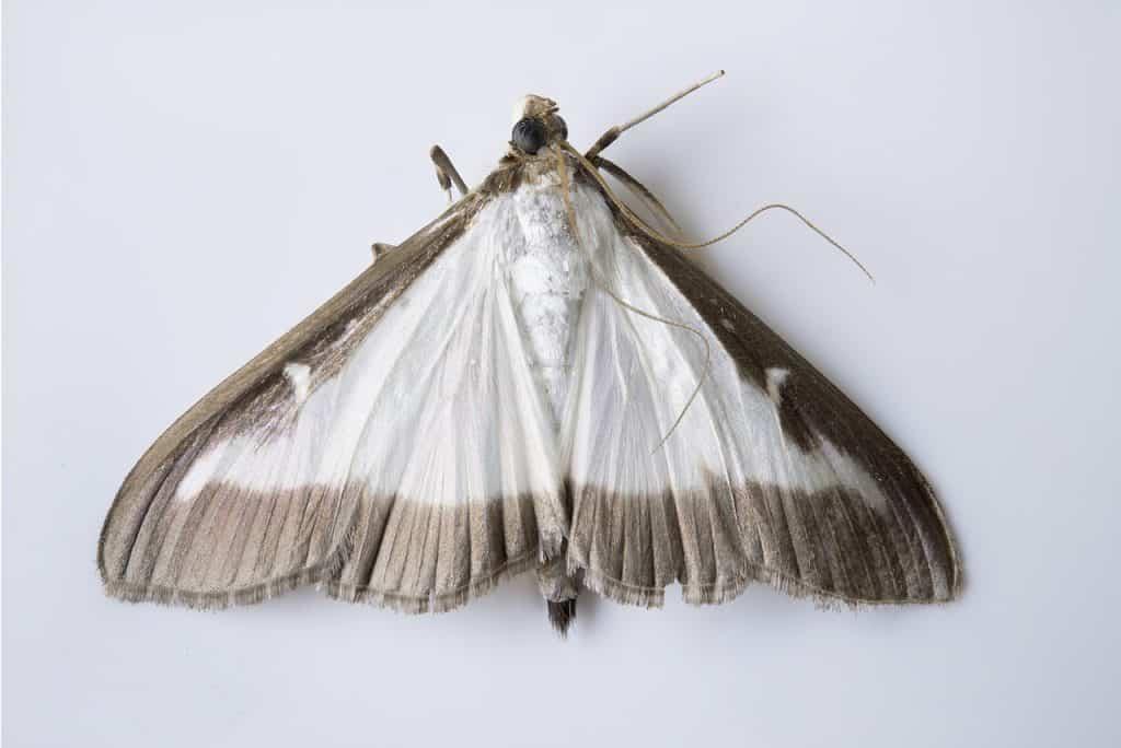 Vijačka krušpánová motýľ