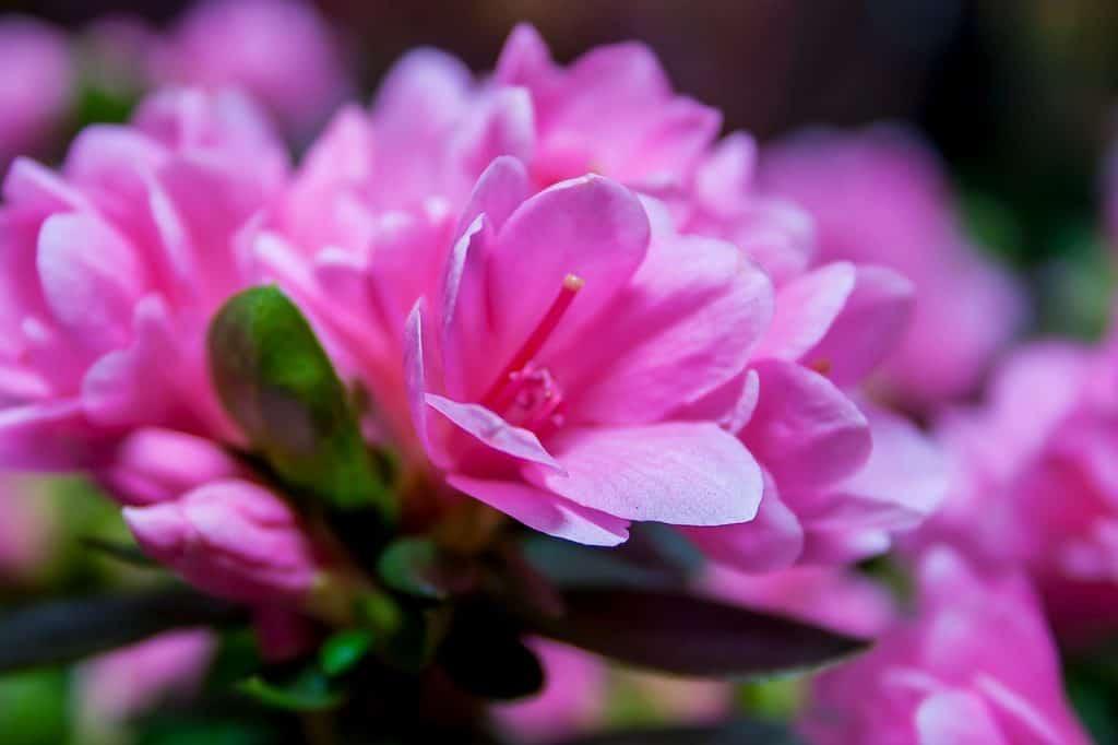 Ružový rododendron