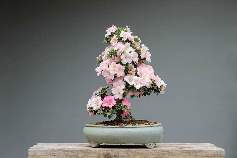 Azalka bonsai