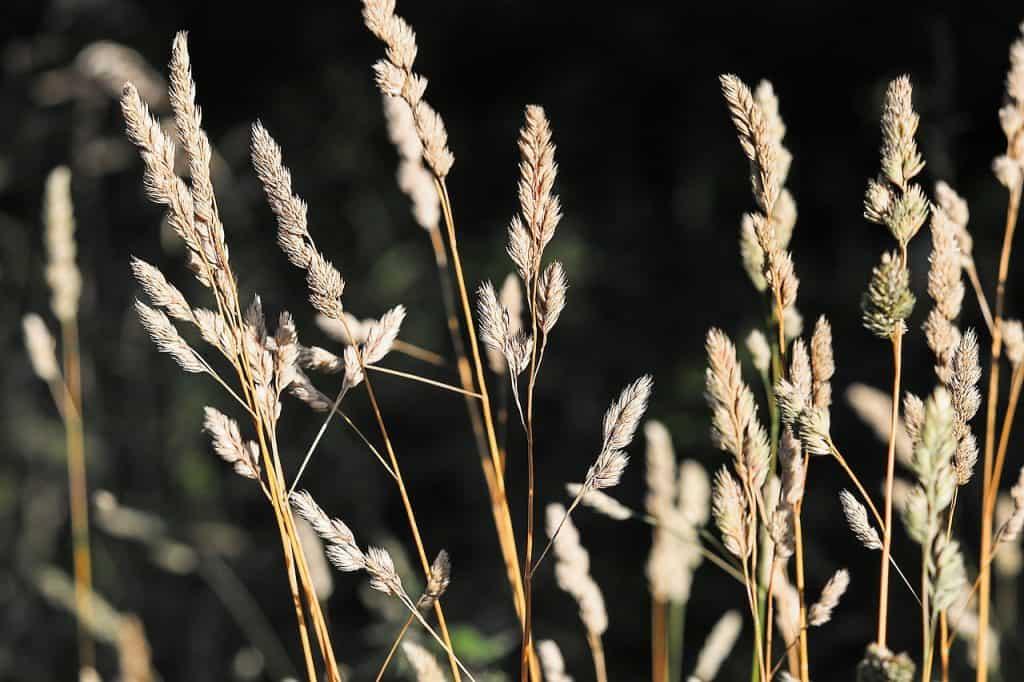 Lipnica ročná - škaredý a tvrdý trávnik