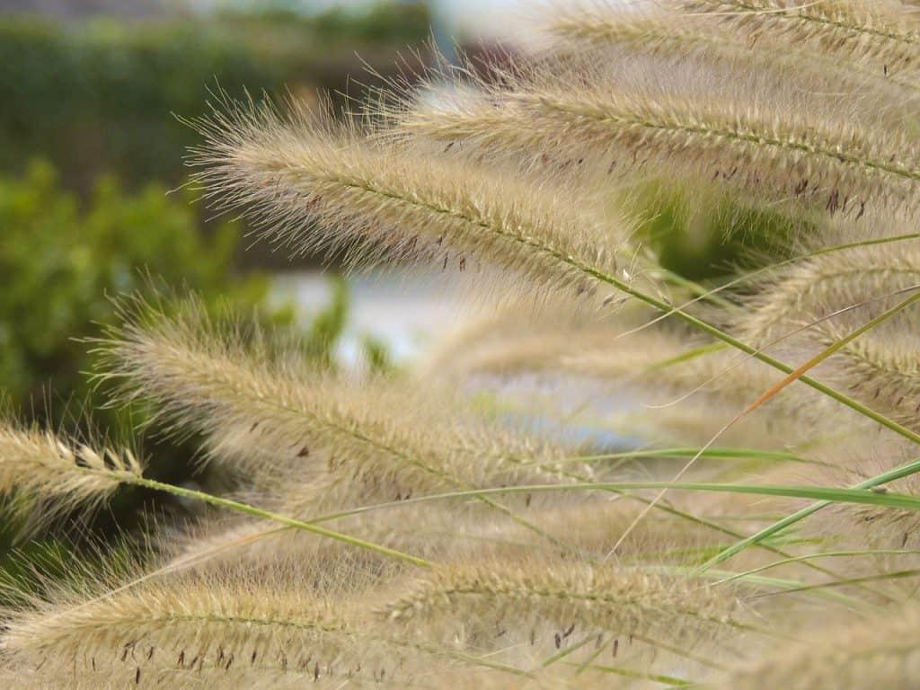 Metlica - okrasné trávy