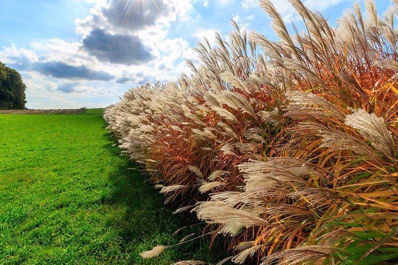 Obľúbené okrasné trávy