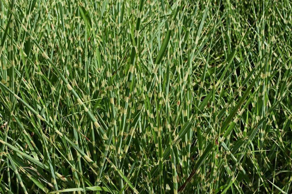 Ostrica - okrasné trávy