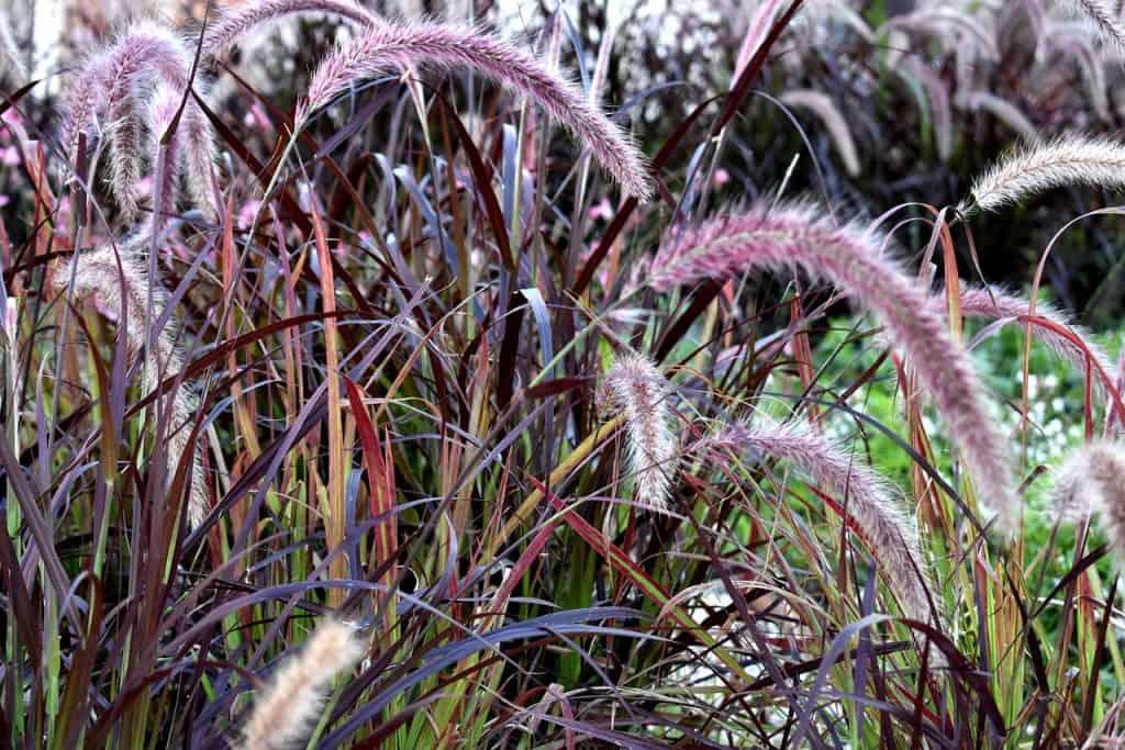 Perovec - okrasné trávy