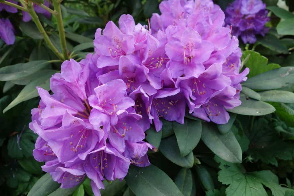 Rododendron - pestovanie