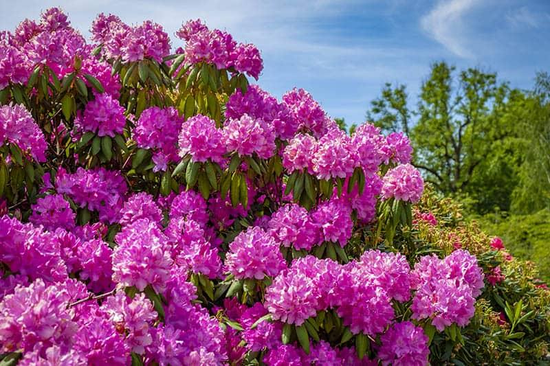 Rododendron Constanze