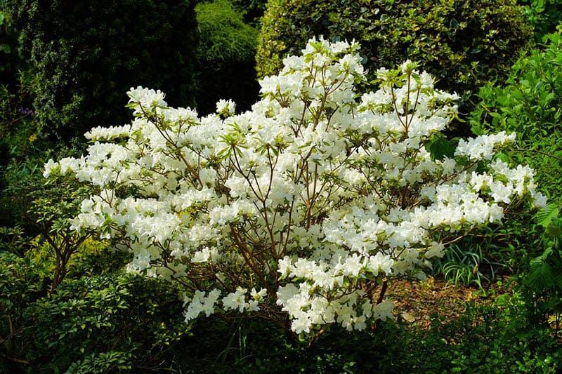 Rododendron Carolinianum