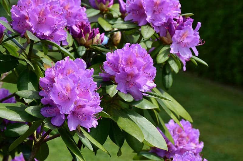 Rododendron americký