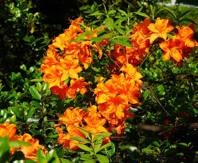 Rododendron oranžový