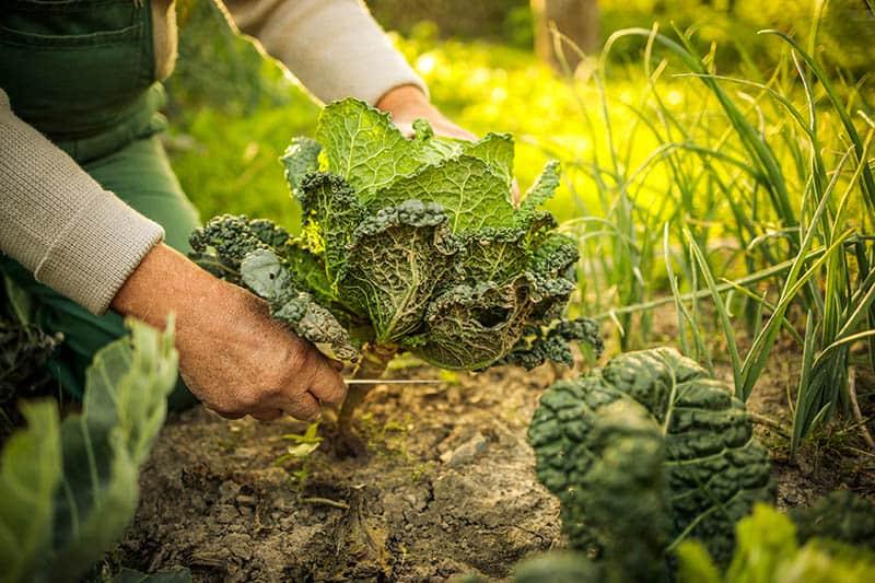 Permakultúrne záhrady - pestovanie zeleniny
