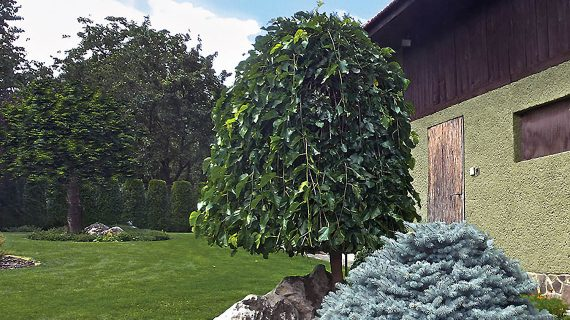 Moruša v záhrade