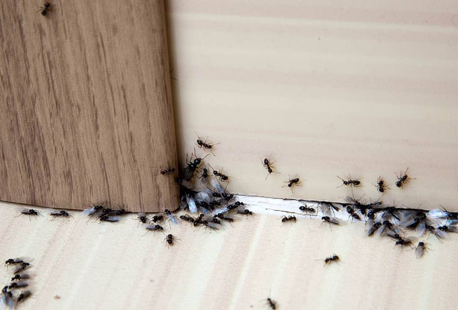 Mravce v byte