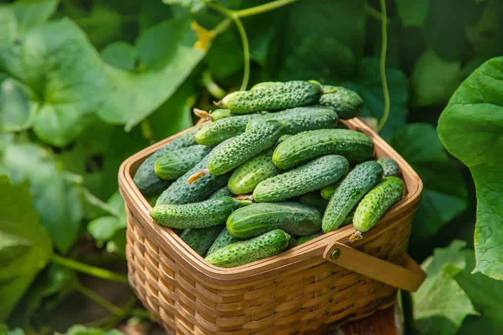 Uhorky - pestovanie uhoriek