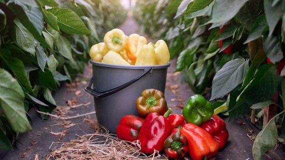 Paprika - ako pestovať papriku