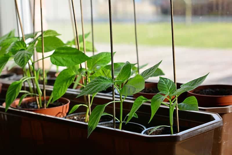 Pestovanie papriky - priesady