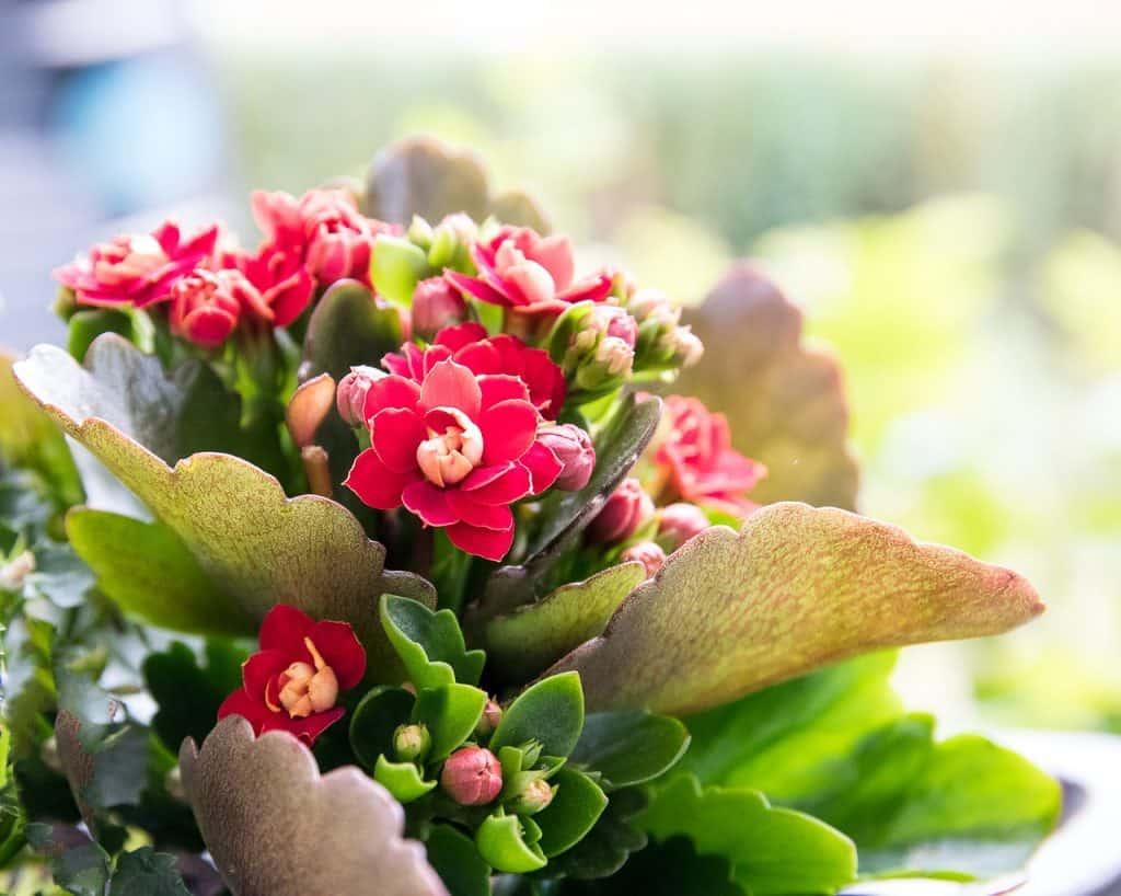 Kvitnúci sukulent