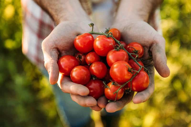 Sadenie paradajok