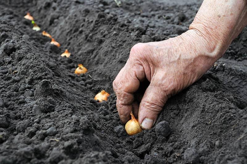 Ako sadiť cibuľu - sadzačku