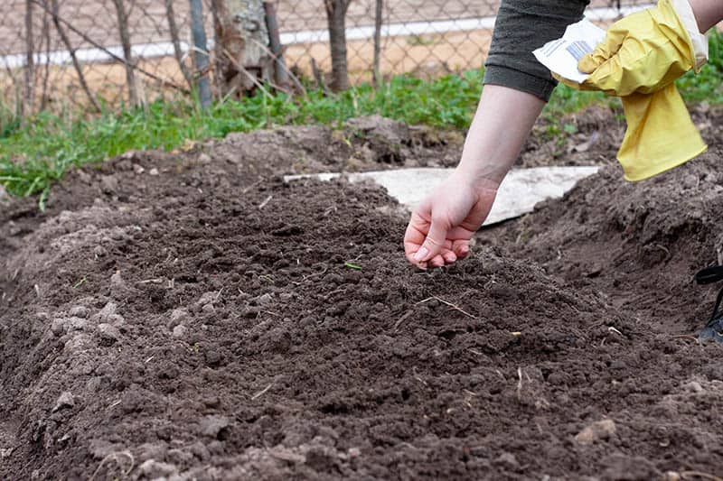Ako sadiť cibuľu