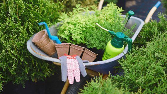 Ako sadiť tuje