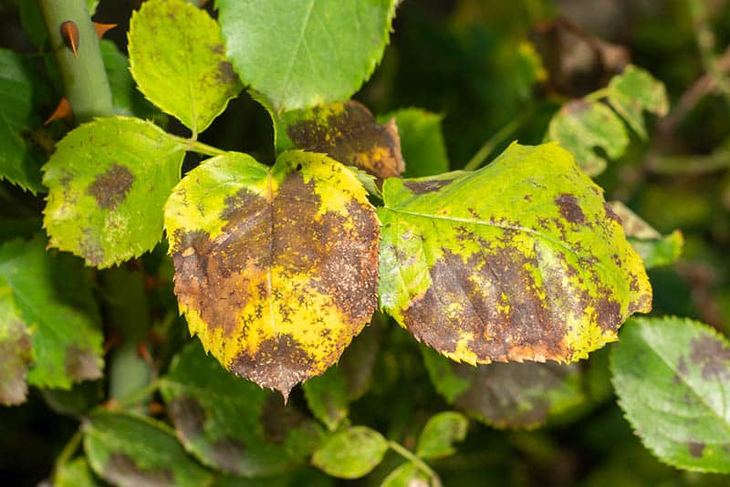 Čierna škvrnitosť - choroby ruží
