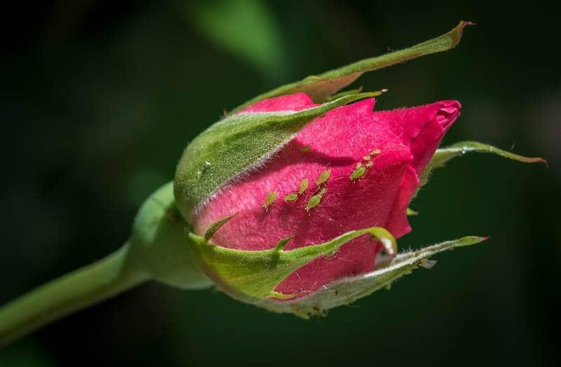 Vošky - choroby ruží