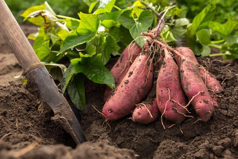 Ako sadiť bataty