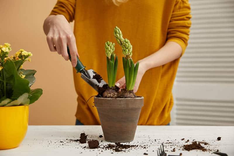 Ako pestovať hyacint