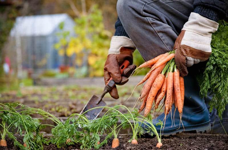 Kedy sadiť mrkvu - sadenie mrkvy