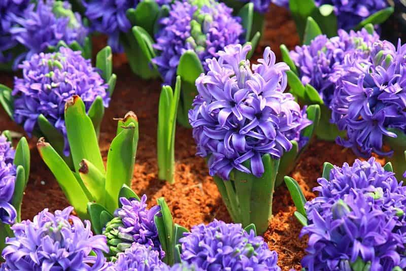 Fialový hyacint - ako pestovať hyacint