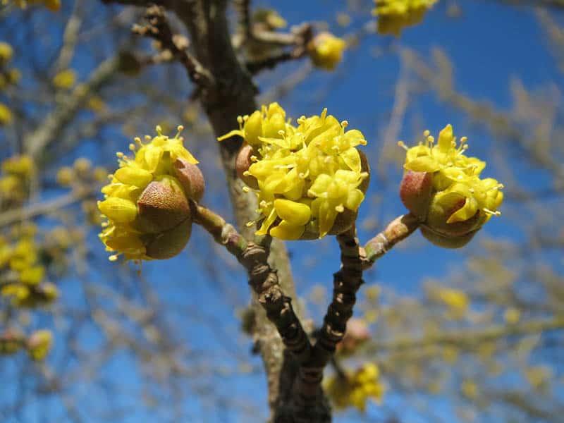 Drienka - kvet