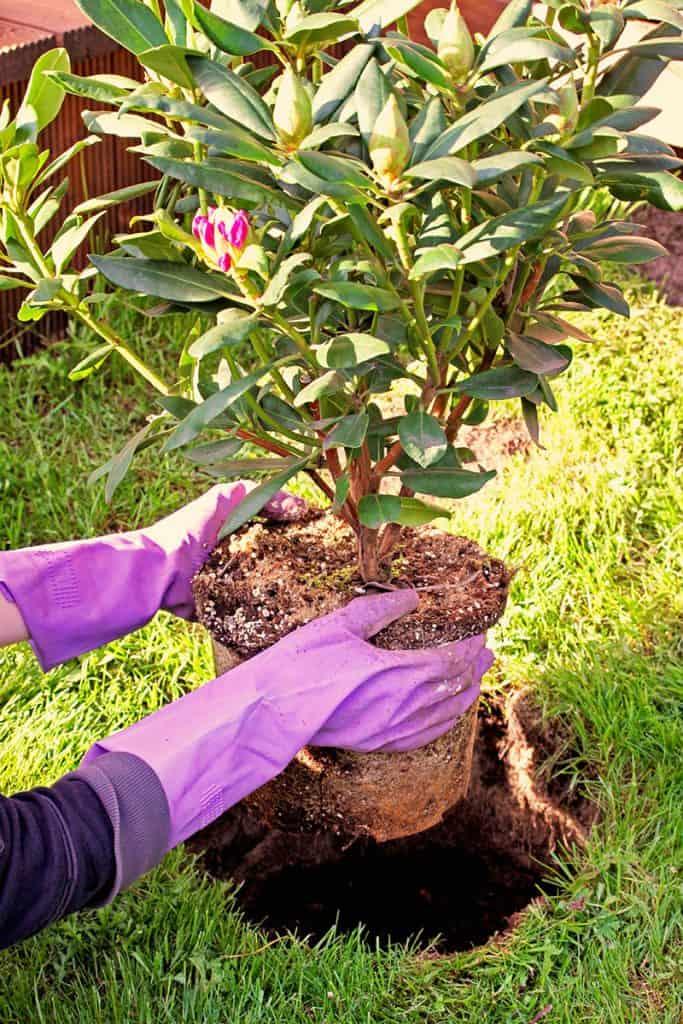 Ako sadiť rododendron