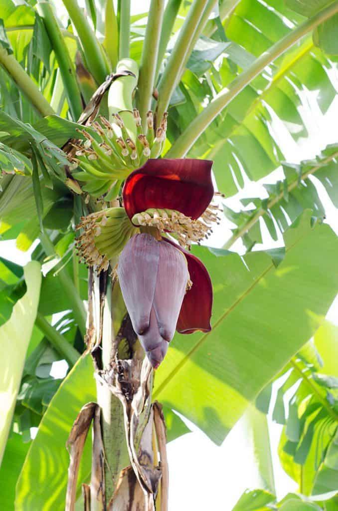 Banánovník - kvet