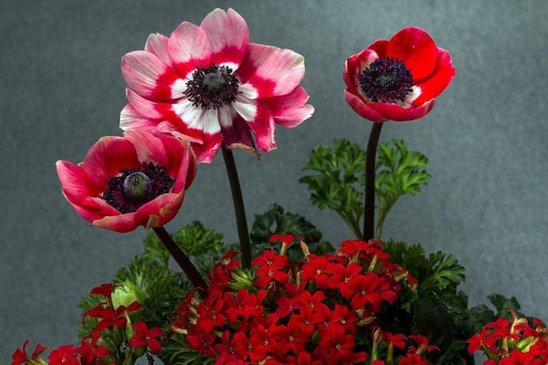 Kvitnúce kalanchoe