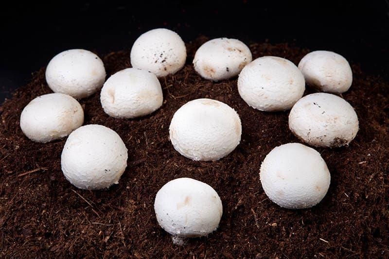Pestovanie šampiňónov doma