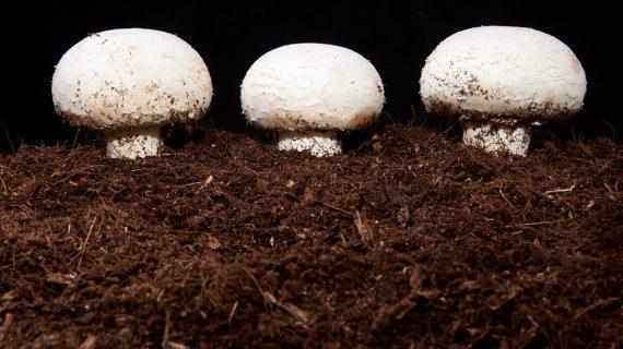 Pestovanie šampiňónov v substráte