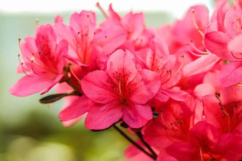 Rododendron ružový