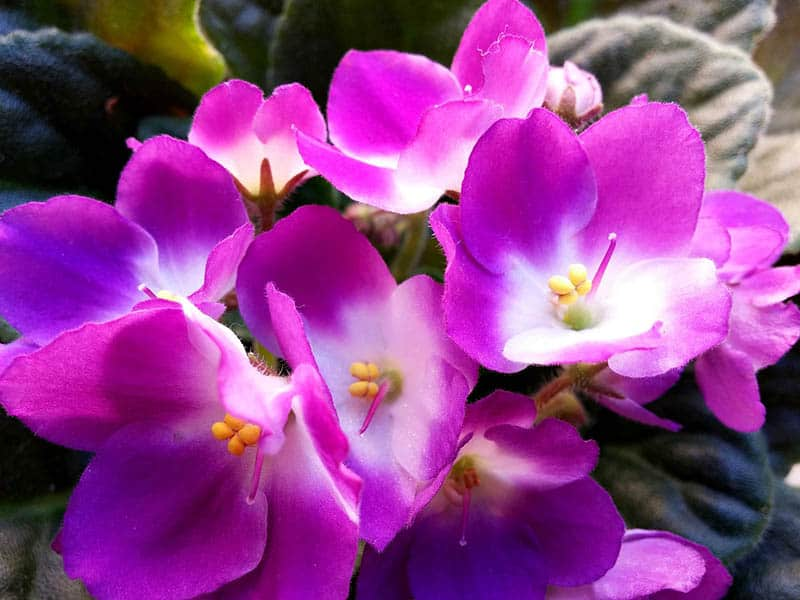 Ružová fialka africká