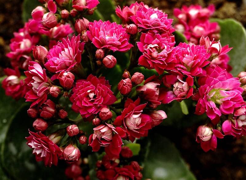 Ružové kalanchoe